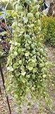 """10"""" Cutting Dischidia platyphylla, Sister Genus Hoya, Live Plant WCRF10"""