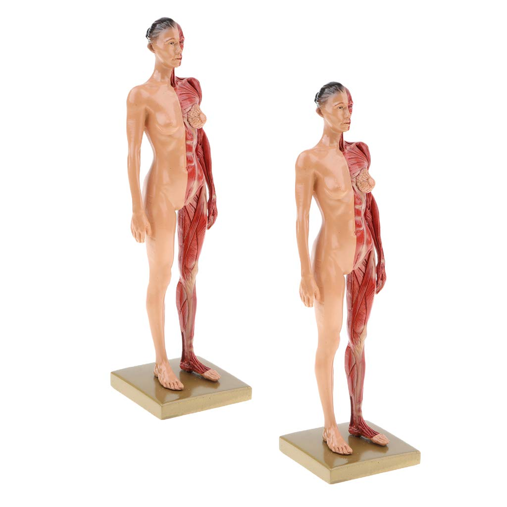 Buy 2x Female Anatomy Figure Model Anatomical Reference For Artists