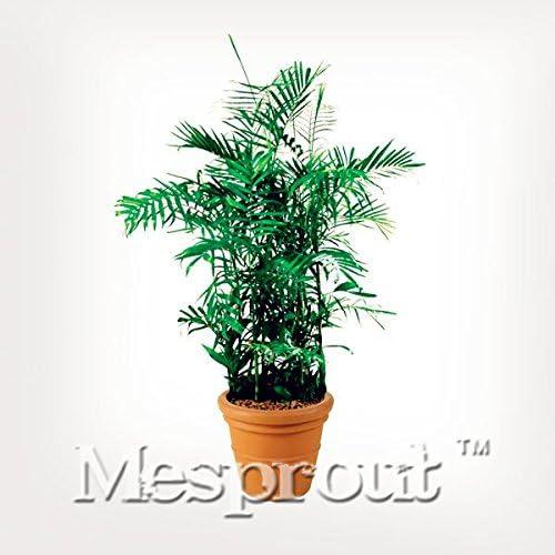 50PCS Bambusa Multiplex Semillas semillas del árbol Bonsai en maceta de artículos para el hogar jardín de DIY el embellecimiento de Promoción de plantas de jardín: Amazon.es: Jardín