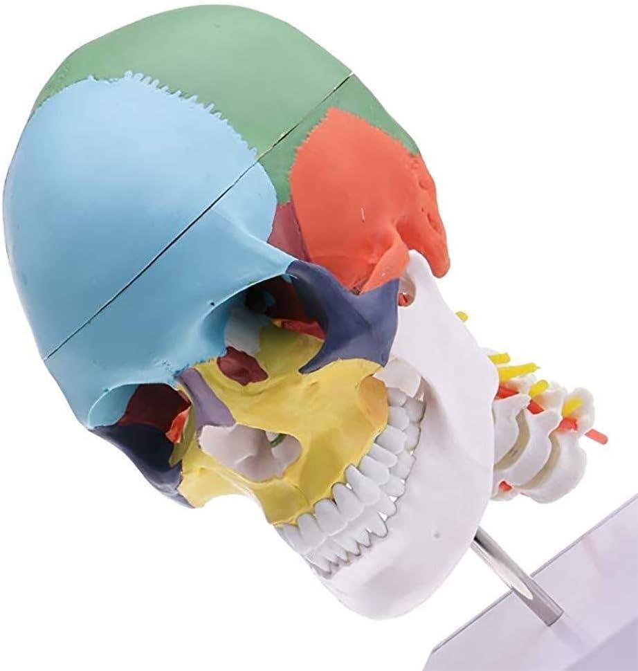YAOJING Educational Training Tool,Human Chromatic Skull Anatomical Model Head Bone Model Ornament 9.16