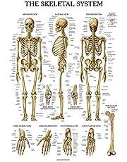 LAMINATED Skeletal System Poster - Human Skeleton Chart - 18 x 27 (Vertical Layout)