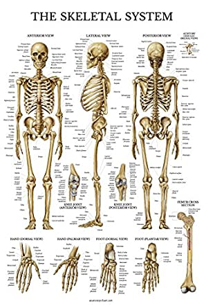 Skeletal system anatomical chart laminated human skeleton skeletal system anatomical chart laminated human skeleton anatomy poster double sided 18 ccuart Image collections