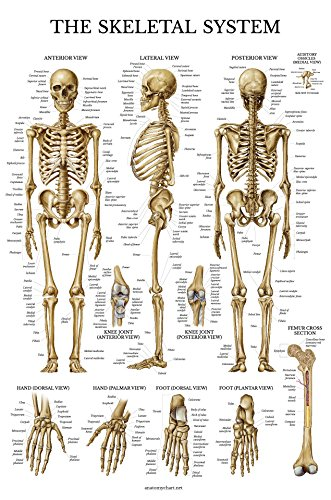 Skeletal System Anatomical Chart - LAMINATED - Human Skeleton Anatomy Poster - Double Sided (18 x (Human Body Anatomy Chart)