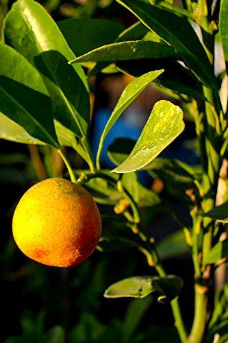 Florida Sour Orange Tree, Seville Sour Citrus (Excludes: -