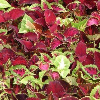 Outsidepride Coleus Rainbow Plant Flower Seed Mix - 5000 Seeds