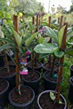 Big Jim Loquat Tree Five Gallon