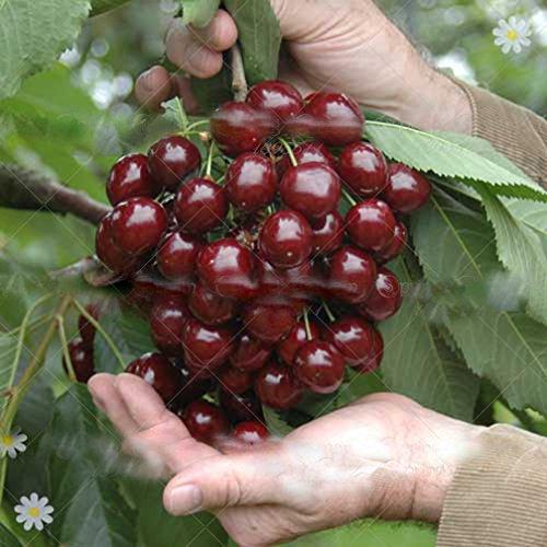 20 Cherry Seeds Australia Black Cherry Tree Seeds Rare Fruit Tree Seeds for Home Garden Planting ()