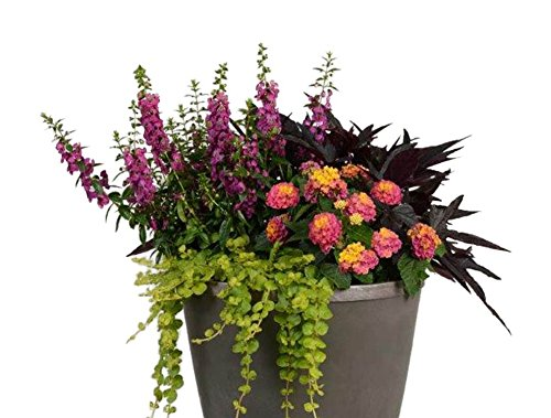Burpee Combo 'Paradise' - Create Instant Colorful Container Gardens with Eight 4 in. pots by Burpee (Image #5)