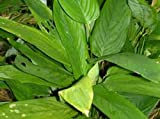 1oz. ARROWROOT~HeRb~Brings GOOD Fortune
