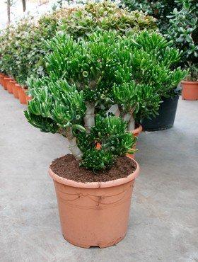 Geldbaum, ca. 80 cm, Balkonpflanze wenig Wasser, Terrassenpflanze sonnig, Kübelpflanze Südbalkon, Crassula horntree, im Topf