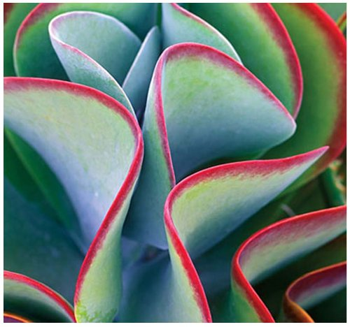 15 x Kalanchoe Thyrsiflora - EXOTIC RARE Flapjacks - xeriscaping mesembs succulents SEEDS - AKA Paddle Plant, Flapjacks, Desert Cabbage, White Lady, Geelplakkie, Meelplakkie, Plakkie - Excellent Greenhouse or House Plant - By MySeeds.Co ()