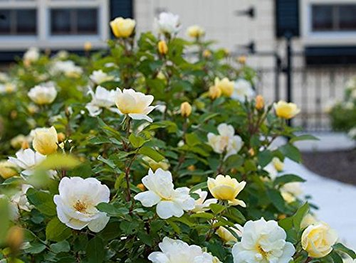 3 Gallon - Sunny Knock Out Rose - Fragrant Yellow Blooming Shrub - Rose Bush - Live Plants by Knock Out Roses