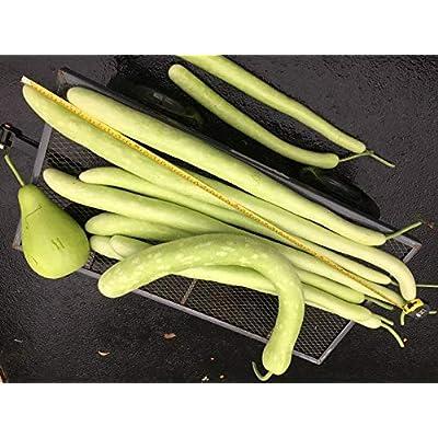1-OZ BigPak: 1-oz to 8-oz CUCUZZI CUCUZZA GAGOOTZA; Serpente di Sicilia; Serpent of Sicily Squash (CDK) Seeds; Snake Gourd : Garden & Outdoor
