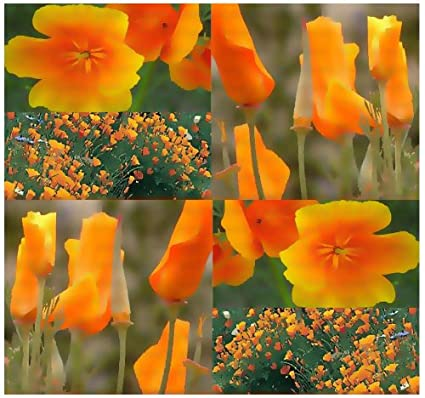 Amazon 1 200 california orange poppy flower seeds e 1200 california orange poppy flower seeds e californica golden ca state flower mightylinksfo