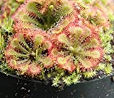 PLAT FIRM Germination Seeds:Two Dra spatulata Spoon Leafed Sundew Plant