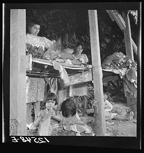 Jibaro women and children preparing tobacco leaves for drying in drying barn. Puerto Rico