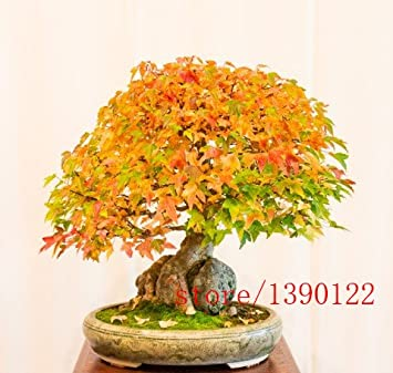 20pcs Trident Maple Seeds Japanese Maple Tree Seeds Acer