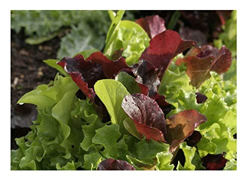David's Garden Seeds Lettuce Encore Mix SL2369 (Multi) 500 Organic Seeds