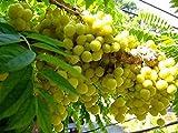 Go Garden 5 Seeds Star Gooseberry, Phyllanthus Acidus