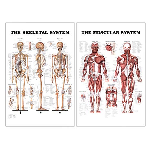 "24"" x 36"" Large Double Sided Muscular and Skeletal System Anatomical Wall Poster/Laminated Human Body Poster/Anatomy Poster/Medical Poster/Human Muscle Skeleton Reference Chart by JJ CARE - Muscle Skeleton"