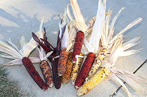 indian corn ear - 6