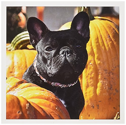 3dRose Greeting Cards, 6 x 6 Inches, Pack of 6, A French Bulldog Between A Row of Pumpkins (gc_140398_1)