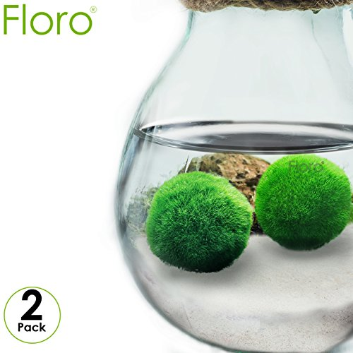 "FLORO 2 Large Marimo Moss Balls - Low-Maintenance, Easy to Grow Aquatic Plants - Pair of Vibrant Green, Naturally Spherical 1.2"" Algae Plants - Excellent for Both Novice & Experienced Gardeners"