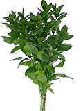 Natural Israeli Ruscus Greens (50)