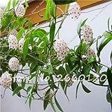 AGROBITS 80 pzas/bolsa Hoya carnosa Hermosa flor de escalada Flor de orquídea Plantas florecientes perennes para jardín en casa El mejor empaque: 2