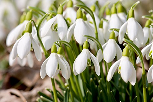 """Galanthus Nivalis Freshly Lifted Bulbs /""""IN THE GREEN/"""" 100 Single Snowdrop"""