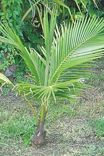 - Coconut Tree (Green) Hawaiian, Live Palm, Dwarf Malayan,48