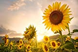 Sunny Sun Power Sunflower Mix 10 Species Very Beautiful (Variety Size Available) (1500 Seeds)
