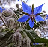 Borage Herb Seeds, 125+ Premium Heirloom Seeds,This is an Amazing Plant! A Must Have in Your Home Garden!, (Isla's Garden Seeds), 85-90% Germination Rates, Highest Quality Seeds