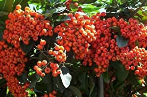 Scarlet Firethorn, Pyracantha coccinea, Shrub 100 Seeds (Fast, Hardy Showy Hedge)
