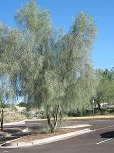 amazoncom shoestring acacia willow tree seeds