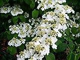 (1 Gallon) Shasta Viburnum, gorgeous extra large clusters of white...