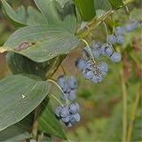 Portulaca oleracea - Spg - Semi