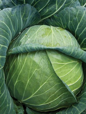 Organic Golden Acre Cabbage Seed 1 OZ ~6,500 seeds