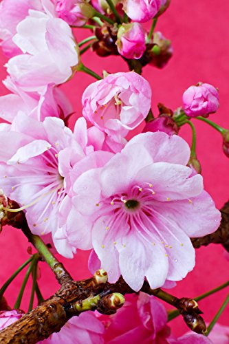 Pretty Pink Blossom Tempered Glass Wall Art,