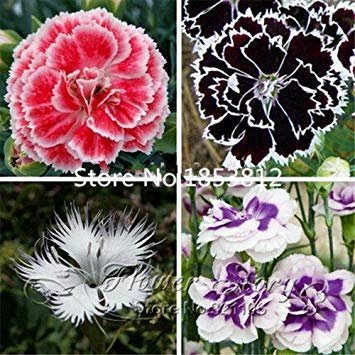 PlenTree Promotion! 200 Dianthus Seeds, 16 Kinds Mixed Packed, Sweet William Flower, Easy to Grow,High Germination DIY Garen (Grow Sweet William)