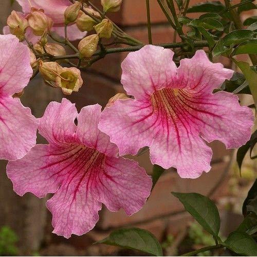 Pink Trumpet Vine Seeds (Podranea ricasoliana) 50+Seeds