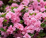 Double pink bloom-a-thon rebooking Azalea pink double Rhododendron x 'rlh1-2p8' sup 21,477 why settle for just a week or two of flowers when you can enjoy up to five months of blooms? large flowers appear in April, then rebook in early July, ...