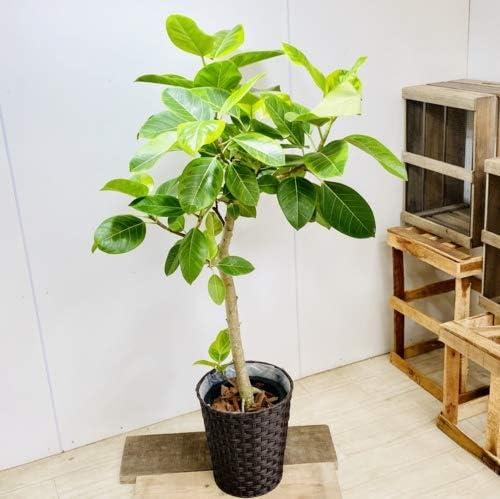 おしゃれ 観葉植物:フィカス アルテシーマ*鉢カバー付き バークチップ 大型佐川急便配送
