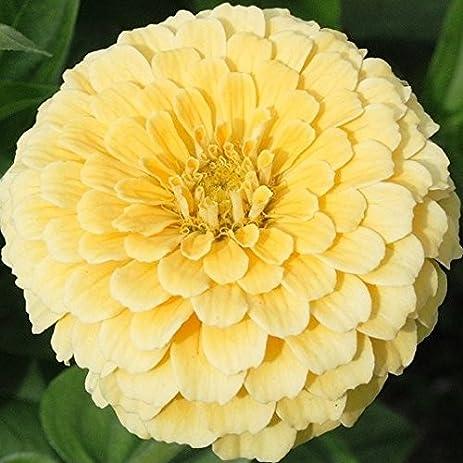 Amazon zinnia seeds isabellina packet pale yellow flowers zinnia seeds isabellina packet pale yellow flowers mightylinksfo