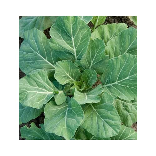 David's Garden Seeds Collards Champion D366A (Green) 500 Open Pollinated Seeds