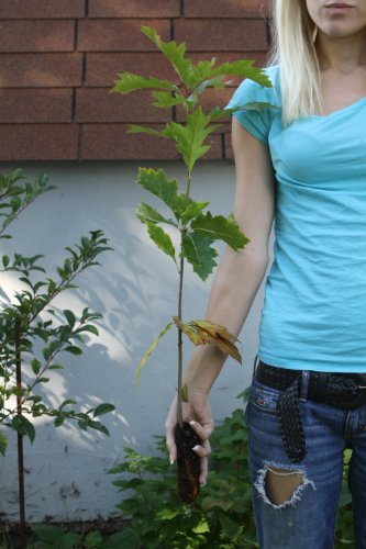TreesAgain Red Oak Tree - Quercus rubra - 6 to 8+ inches (See State Restrictions)