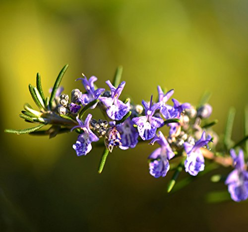Rosemary Herb Seed, 40,000 Seed Count, Aromatic Garden Herb, Very Popular by Sheffield's Seed Co., Inc.