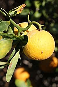 Poncirus trifoliata FLYING DRAGON HARDY TRIFOLIATE ORANGE Tree SEEDS!