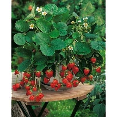 "Rare Organic vegetables Heirloom Wild Strawberry seeds ""Aleksandriya"" 100 Seeds. : Garden & Outdoor"