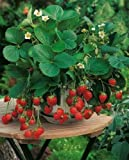 buy Rare Organic vegetables Heirloom Wild Strawberry seeds